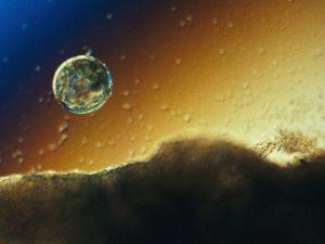 Araştırmacılar, insan blastosistlerini simüle etmek için insan kök hücrelerini kullanıyor