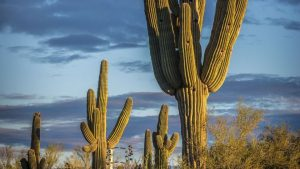 Araştırmacılar kaktüsün biyoyakıt ve daha fazlası için kuraklığa dayanıklı bir ürün olduğunu düşünüyor